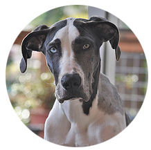 """Blue"" the Great Dane"